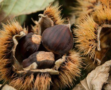 La Castagna: il frutto autunnale dei Colli Euganei
